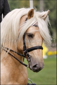 "Voiveikko is a good example of horses name traditionally referring to its color, palomino is translated as ""voikko"" in Finnish, referring to color of butter, ""voi"", photo by Sini Tuhkunen"