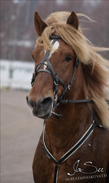 finnhorse trotter at Vermo